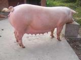 优质母猪价格