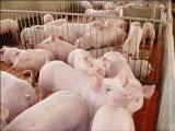 优质生猪价格