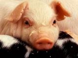 高免疫力幼猪