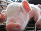 优良品种幼猪