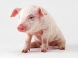 优质健康幼猪