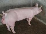 品种优良种猪